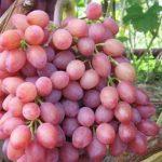 Сорта винограда с розовыми ягодами