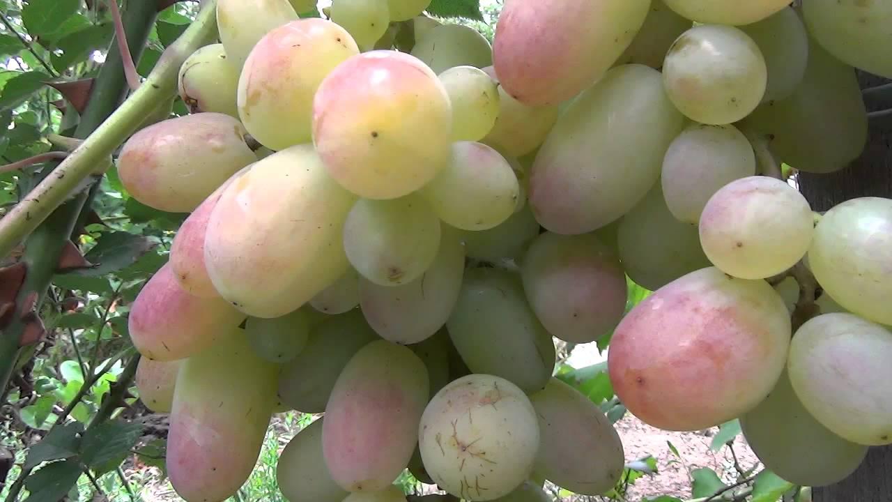 Сорта винограда Юбилей Новочеркасска и Юпитер