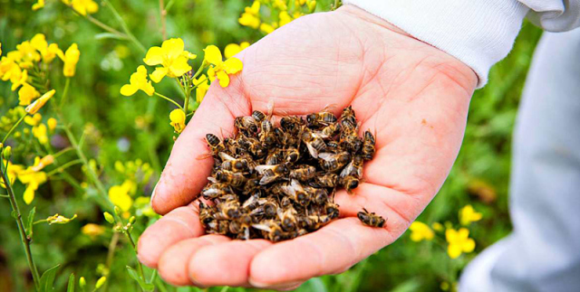 Пчелиный подмор: сферы применения