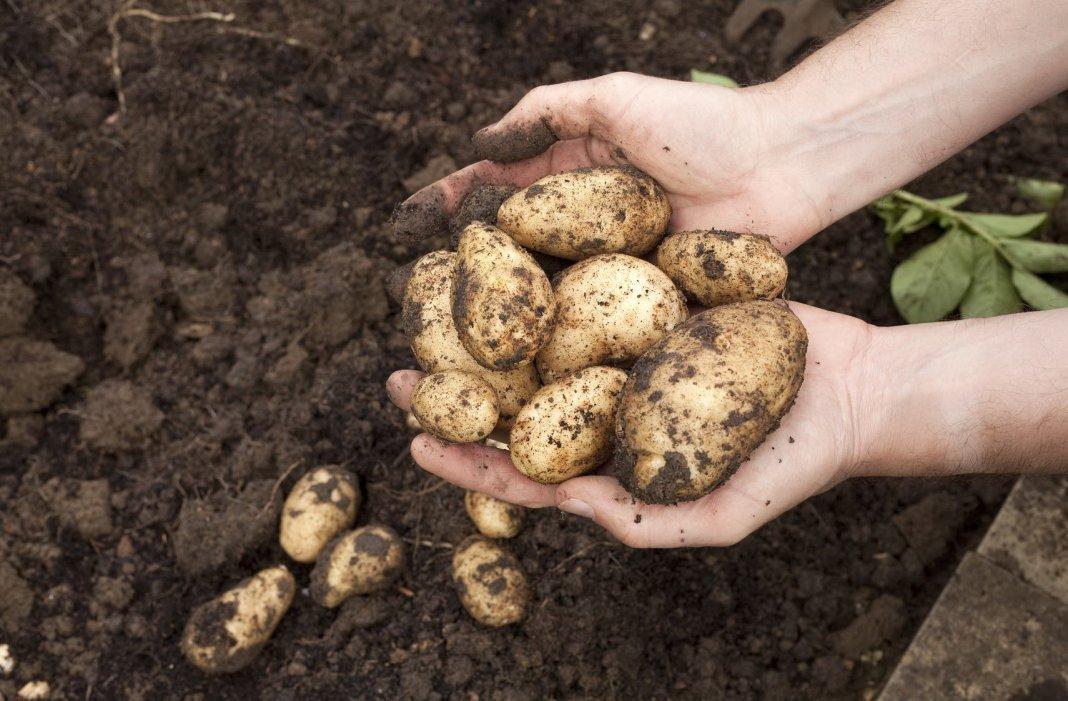 Секреты сбора и хранения урожая картофеля