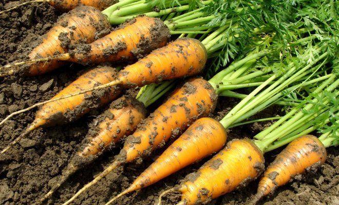 Помидоры, чеснок, черная морковь: особенности посадки